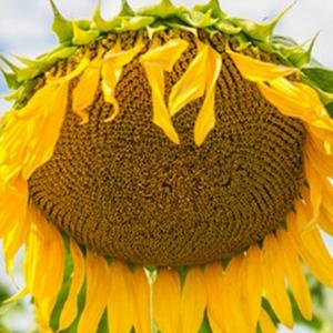 Семена подсолнечника НС ИМИСАН (Евролайтинг)