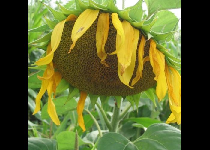 Насіння соняшнику Булерія OR7 (Buleria OR7 Mirasol Seed) Іспанія