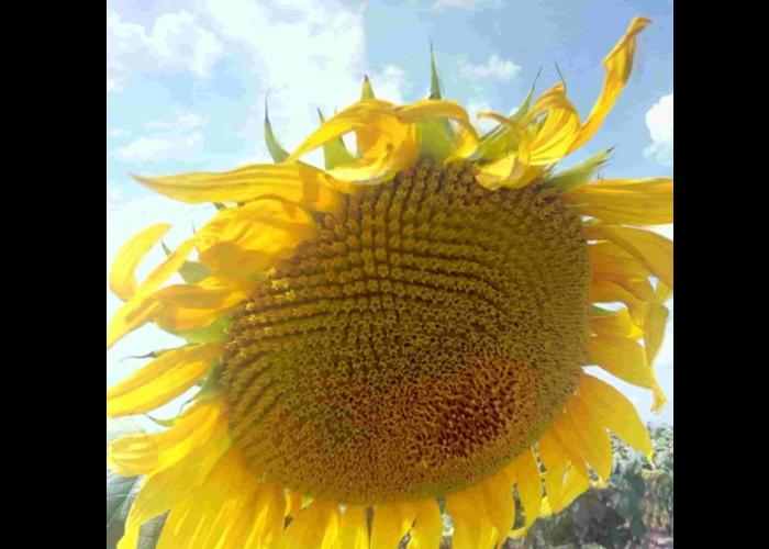 Семена подсолнечника Фушия КЛ (Евролайтинг)