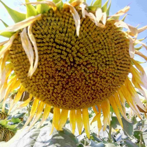 Семена подсолнечника НС Авалон (ПРЕМИУМ)