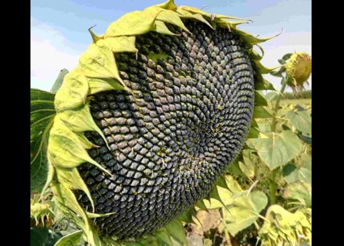 Насіння соняшнику Шаркс