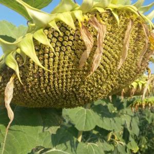 Семена подсолнечника НС Х 6045 (Евролайтинг)
