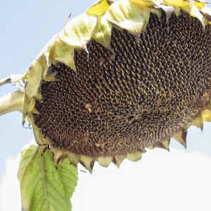 Насіння соняшнику  Бенето