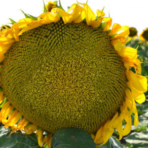 Семена подсолнечника Армагедон (Евролайтинг)