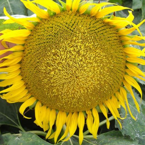 Семена подсолнечника  Фолк (50 гр. Гранстар)