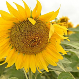 Семена подсолнечника Бонд (Гранстар)
