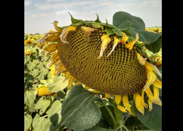 Семена подсолнечника Гранд   (Гранстар 50 г)