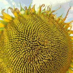 Семена подсолнечника Шенон (Гранстар 50гр.)