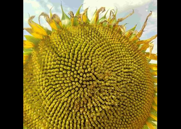 Насіння соняшнику Шенон (Гранстар 50гр.)