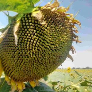 Насіння соняшнику Златибор