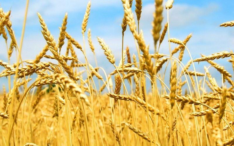 Вымерзание озимых зерновых, методы защиты