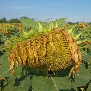 Семена подсолнечника ЕС Ниагара (EURALIS)