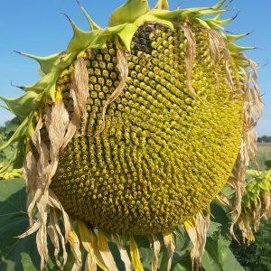 Семена подсолнечника ЕС Саванна (EURALIS)