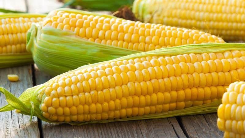выращивание по интенсивной технологии кукурузы
