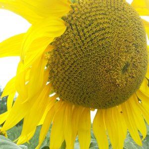 Семена  подсолнечника  ТОР  (НС 7749 ) традиционный ПРЕМИУМ