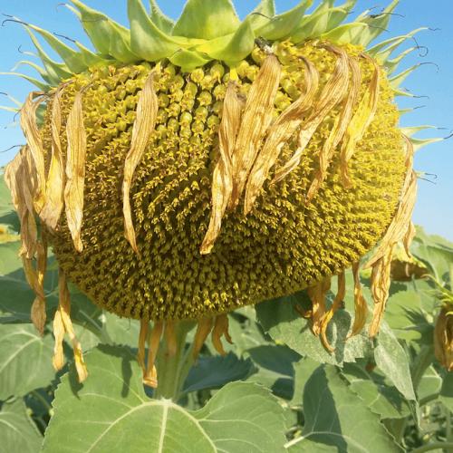 Семена подсолнечника Евро (Евролайтинг)