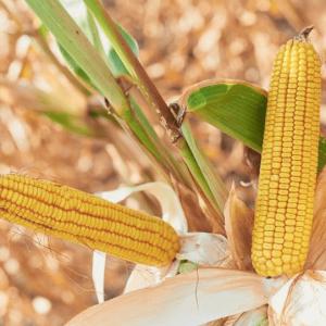 Семена кукурузы ДК Бурштын