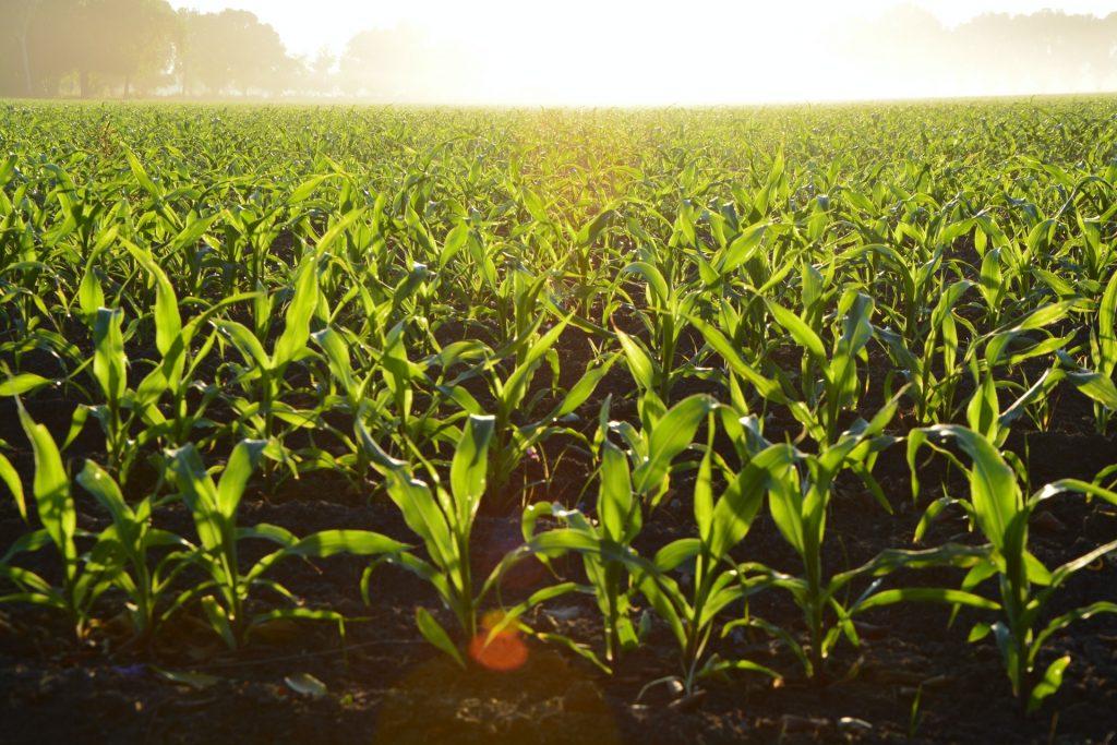 восходы кукурузы на поле