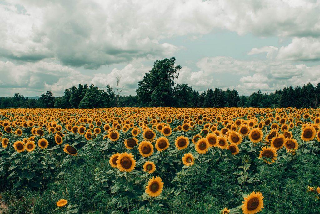 поле подсолнуха