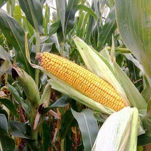 Семена  кукурузы ТОР (ФАО 280 )