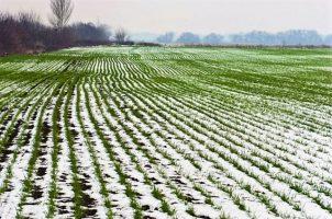 Посадка озимой пшеницы
