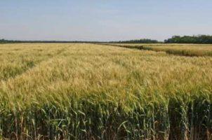посев пшеницы после подсолнуха
